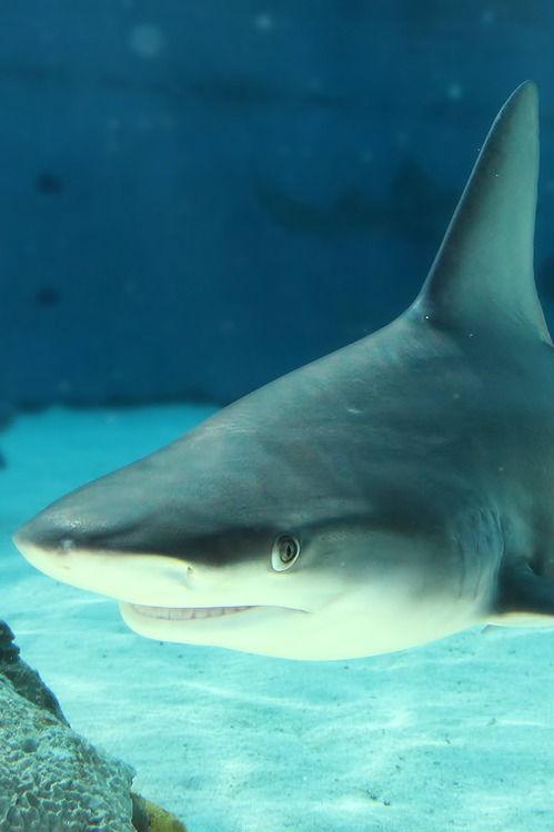 smiling-shark